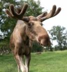 MooseOnTheLooses Avatar